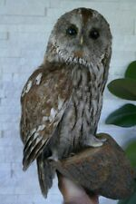 Taxidermy Premium BROWN OWL (Strix aluco) with PAPERS from 1970