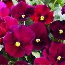 Viola-Sorbete Amarillo Frost 15 Semillas