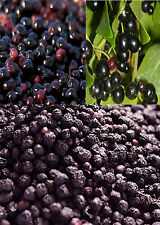 10 Maqui Chilean Wineberry Berry Seeds BERRIES HIGH IN ANTIOXIDANT COMPOUNDS