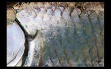 Tarpon Skin Fishing Sticker photo decal