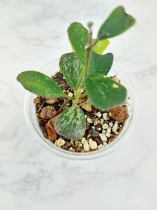 """Hoya Manipurensis 3"""" pot.    (#1083)"""