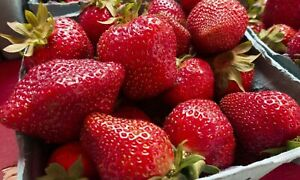 3 Live Large Strawberry Plants Everbearing   Hardiest zones 3-7 Fruits Perennial