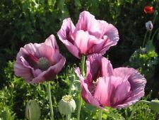 Pink Poppy Flower Seeds Papaver Somniferum 200+ Seeds