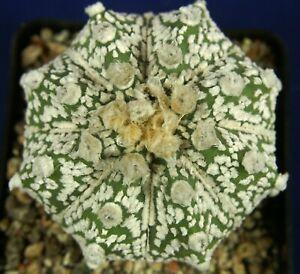 ASTROPHYTUM ASTERIAS SUPERKABUTO HYBRID = cacti 仙人掌 กระบองเพชร kakteen #5298+