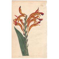 Curtis Botanical Magazine antique 1803 hand-colored engraving 561 Antholyza