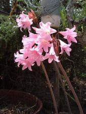 13 Amaryllis Belladonna lily naked lady bulb voodoo dragon flower Amorphophallus