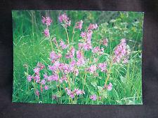 J. SALMON Postcard - British Wild Flowers Series - RED CAMPION