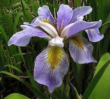 Water Plants- Iris virginica  'Janet Our Friend''