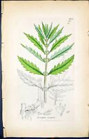 Antique Old Print Lycopus Europoeus Smith Sowerby 1847 British Plants Botany