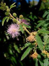 Mimosa Pudica Spegazzini Sensitiva / 300 semi - seeds