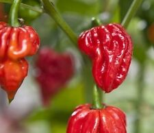 20 seeds Naga Viper Extremely Hot chili pepper rare heirloom World record Holder