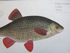 BLOCH: Suberp Fish Print Cyprinus Carp Folio - 1782
