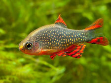 5x GALAXY RASBORA -CELESTIAL PEARL DANIO -ESTABLISHED