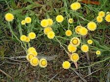 Helichrysum scorpioides - Curling Everlasting  20 seeds