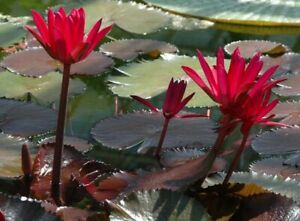 Water Lily - Red Night (nymphaea pubescens v rubra) 10 Reliable Viable Seeds