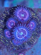 Pink Zipper Zoa Zoanthids Palythoa Soft Marine Reef Live Coral Frag