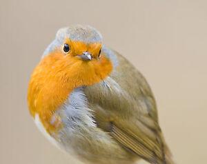 Robin GREETINGS CARD Christmas Xmas Bird Art Bird Steve Greaves Photo Print Cute