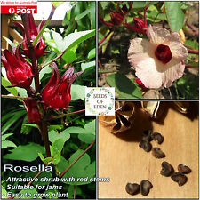 10 Rosella (Hibiscus sabdariffa) Seeds; Red fleshy edible fruit