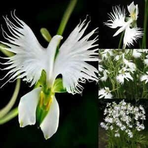 50 Japanese Radiata White Egret Orchid Flower Seed Beautiful Viable Bonsai Seed