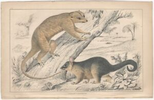 Fisher (?) - 19th Century English Small Mammal Print partly Hand Colored