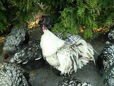 10 Bruteier von großen Orpington Hühner -  Silber schwarz gesäumt