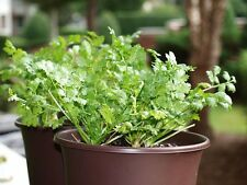 Cilantro Herb Seeds - aka Coriander (Coriandrum Sativum) -  SALE! 400+ seeds!