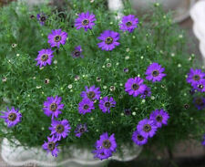 2000 Swan River Daisy Seeds Brachycome Iberdifolia Dwarf Mixed Colors Flower