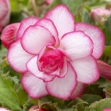 2 x Pink Begonia Picotee (corm) (to plant yourself)