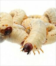 Fruit Beetle Grubs Pachnoda Reptile Live Food BULK pack Approx 30