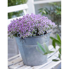 Herb seeds Thyme Seeds - Perennial Ground cover garden decoration 60Pcs