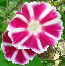 Fuji No Beni | Japanese Morning Glory Vine | Bright Red Spoked | 8 Seeds