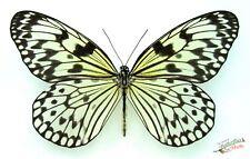 idée leuconoe LE PAPIER MILAN Philippine papillons Ensemble x1- spécimen Art