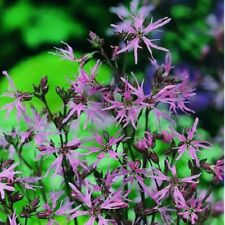 Suffolk Herbes-Wildflower Ragged Robin - 1000 graines