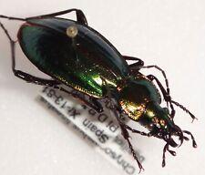 Carabidae Carabus Chrysocarabus lineatus basilicus Spain #W86 Carabid Beetle