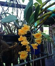 Orchid Dendrobium lindleyi.. Orange Flower Division as Shown- GORGEOUS !!!!!