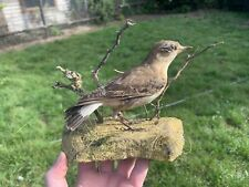 More details for taxidermy vintage wheatear