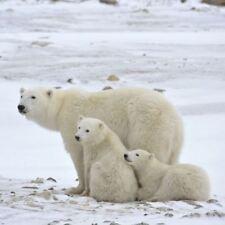 Greeting Sound Card By Really Wild Cards - Polar Bear