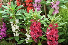 50 Samen Balsamine - Impatiens balsamina anspruchslose Pflanze