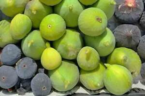 3x Fig cuttings Ficus GOUTTE d'OR delicious French variety / Feigen Stecklinge