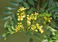 50 Seeds, Kassod Tree, Cassod Tree rare seeds,ขี้เหล็ก