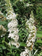 Buddleia fallowiana var alba in 50mm Forestry Tube Summer Flowering Perennial