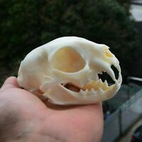 1PC Cat Skull Replica Animal Taxidermy Study Education Collectibles Decorations