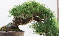 Bhutan Pine - Pinus Wallichiana Magnificent specimen or bonsai tree fresh seeds