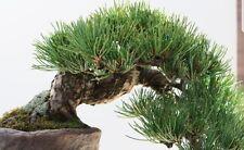 BHUTAN PINE-Pinus WALLICHIANA MAGNIFICO Esemplare O Bonsai Semi Freschi