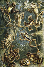 Ernst Haeckel Art Forms of Nature Frogs Toads 18x24 new Poster