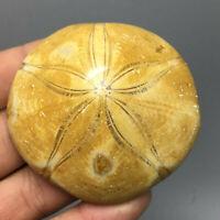 11 - Selten Seeigel Sea Urchin Fossile Kreidezeit (Madagaskar)