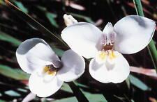Diplarrena latifolia  Western Flag Iris  20 seeds
