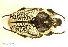 Goliathus orientalis orientalis - female, GIANT 79-80mm! A1/A-