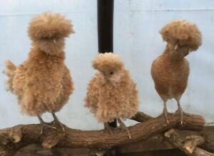 Pure Polish Chamois Fertile Egg.Frizzle Gene.Show Bird. Hatching Eggs. incubator