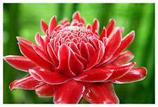 *UNCLE CHAN* 1 LIVE RHIZOME RED torch ginger Etlingera Elatior pink light
